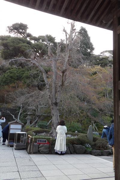 鎌倉長谷寺の枝垂れ桜の開花はこれから-2019年