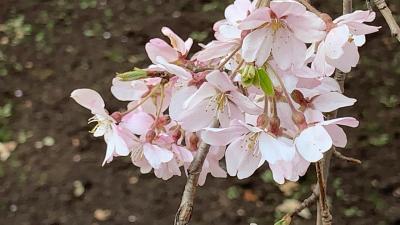 小石川後楽園 枝垂桜2019