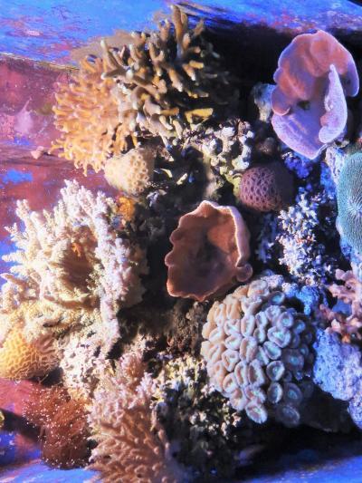 沖縄15 海洋博公園a 美ら海水族館 ☆「黒潮の海」ジンベイザメ2頭が泳ぐ大迫力