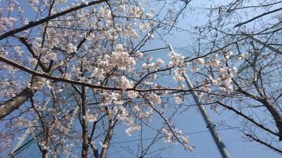 桜を見に駒込へ