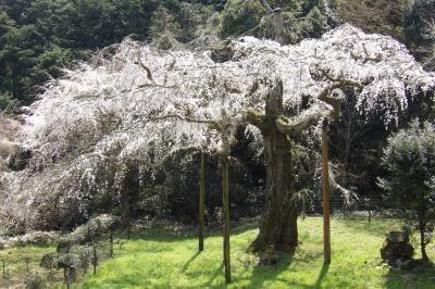 長興山紹太寺の枝垂れ桜は散り始めです-2019年