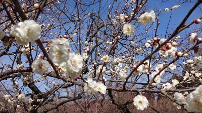 おやじの一人旅・平成最後に梅の花を見たくなって!2019