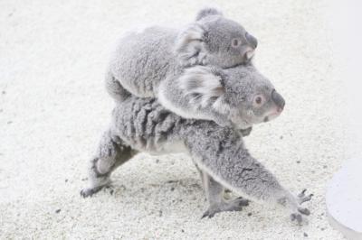 カワウソ祭りの埼玉こども動物自然公園~大盛況で生カワウソは見られず&可愛いレッサーパンダ一家とコアラの赤ちゃんたちをメインに