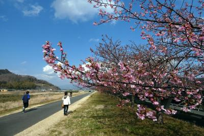 10.春を探しに行くエクシブ伊豆1泊 大仁の城山(じょうやま)さくらの並木