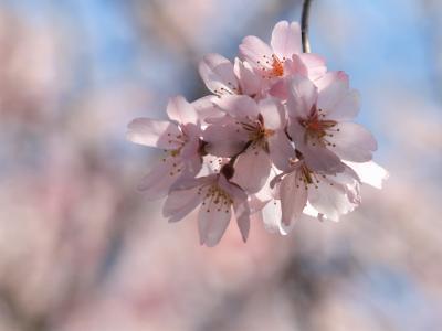 今年も桜が咲きました♪‐六義園小石川後楽園