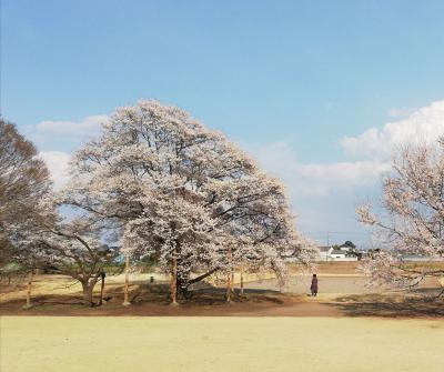 天平の丘公園で淡墨桜