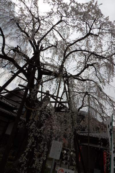 高尾の桜-蛙の寺の大光寺-2019年