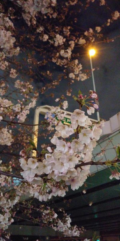 東京は桜満開です♪