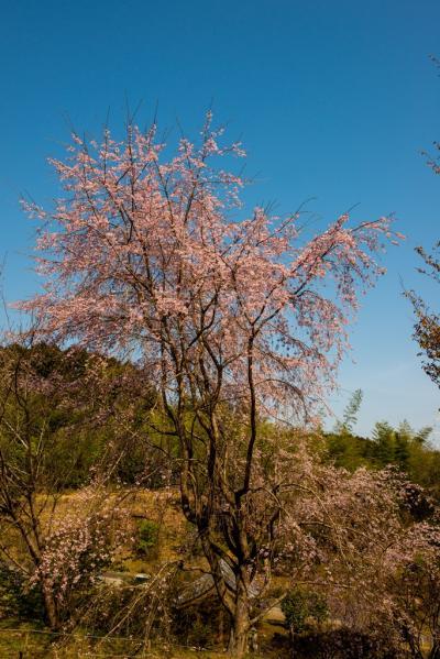 三光の桜 2019