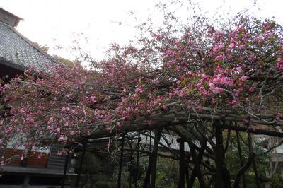 鎌倉光則寺の海棠は咲き始め-2019年
