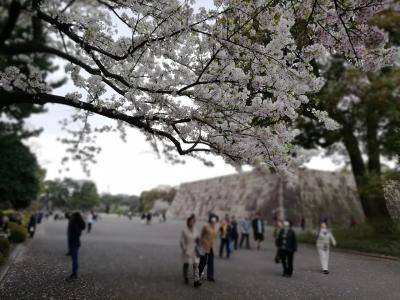 皇居外苑、千鳥ヶ淵の桜を見てきました!