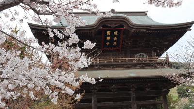 """桜はどうかな?北鎌倉の""""シェ ケンタロウ""""でランチの後、建長寺と鶴岡八幡宮を訪ねました。"""