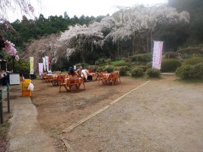 長興寺の枝垂れ桜、小田原市周辺桜最前線