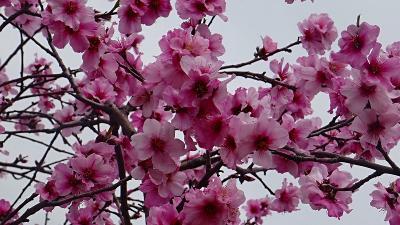 アーモンドの花見 東洋ナッツ アーモンドフェスティバル 上巻。