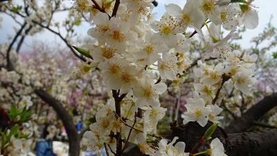 アーモンドの花見 東洋ナッツ アーモンドフェスティバル 中巻。