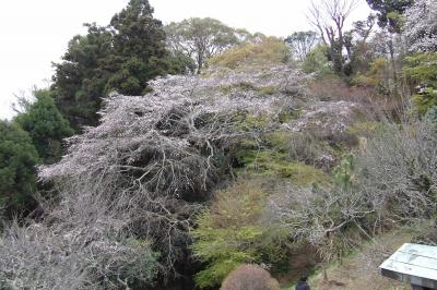 鎌倉市内で最大の枝垂れ桜