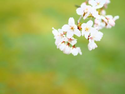 桜をひとりじめ 泉自然公園