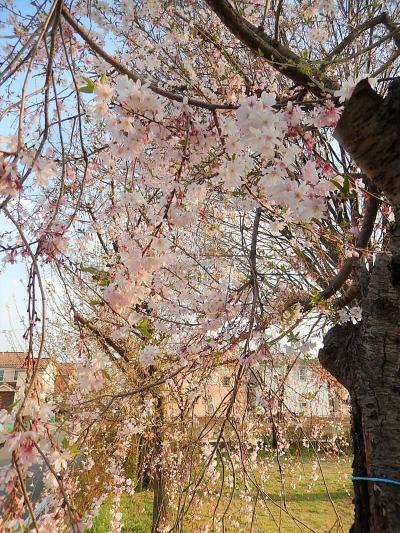 亀久保西公園の冬桜は満開
