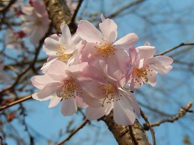 二度目の開花した十月桜は満開