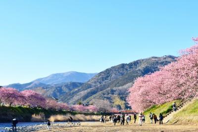 スーパービュー踊り子号で行く日本一開花の早い河津桜を堪能する旅
