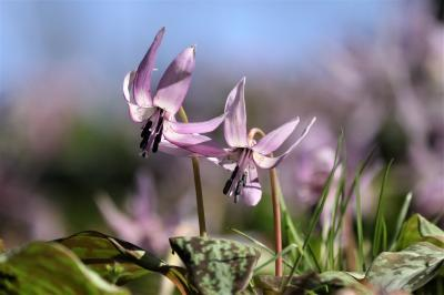 スプリング‐エフェメラル♪足助飯盛山(香嵐渓)のカタクリ&旬の桜撮ってきました♪