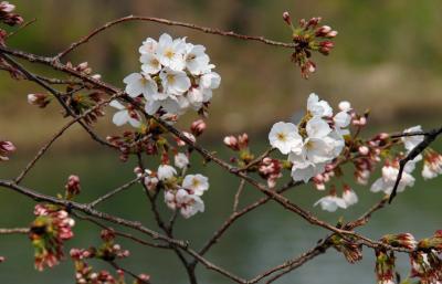 2019年背割堤桜並木開花情報3