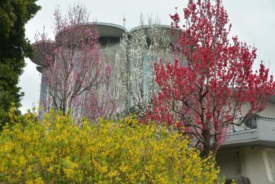 東京散歩 皇居東御苑 桜が満開でした。