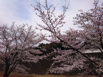 桜 皇居乾通り一般公開