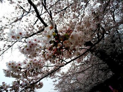 速報!東京の桜満開です! 上野と日比谷で食べ歩き♪