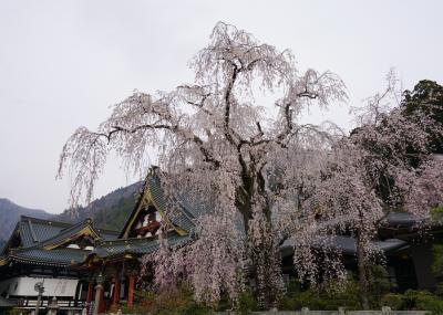 2019.3 満開の桜を訪ねて~身延山久遠寺と三嶋大社の枝垂れ桜