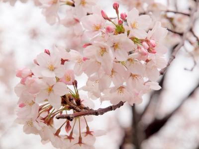ピンク色に染まった鶴舞公園でのんびりお花見 瑞穂区にあるスペイン料理レストラン「ラ・マンチャ」でディナー
