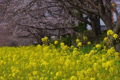 満開の菜の花と少しの桜