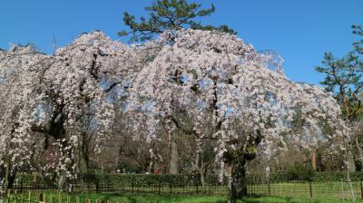 京都御所の枝垂れ桜