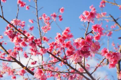 2019年1月旅 早咲きの桜めぐり~オキナワマリオットリゾート&スパSTAY~