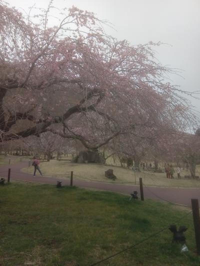 春休みは桜満開一碧湖!~やっぱり車なし夫婦の過ごし方