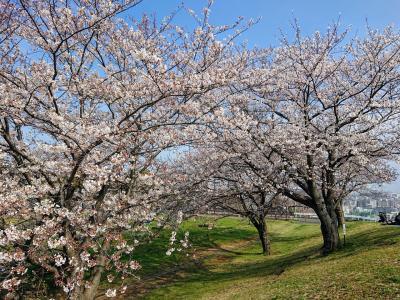3月31日 弘明寺、大岡川プロムナード、清水が丘公園の桜