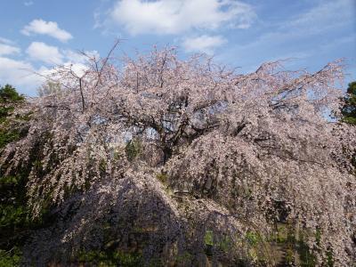 2019年3月 東郷寺のしだれ桜