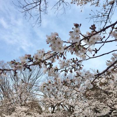 上野公園でお花見!1964年に整備されて今年で樹齢66年の桜並木を大切に保護していきましょう!