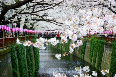2019年春 目黒川で桜を愛でる