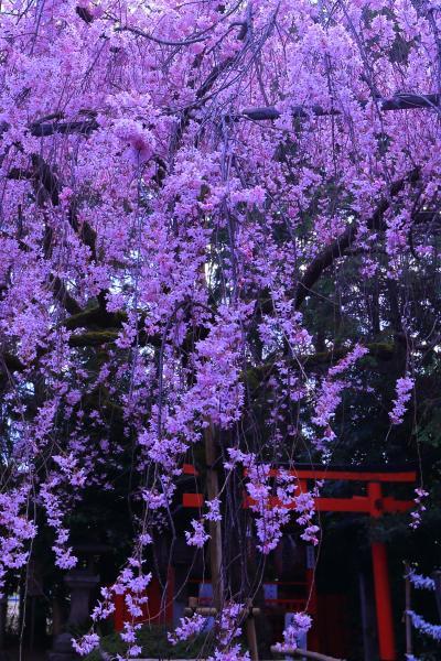 京都 早咲きの桜めぐり~平野神社、京都御苑、本満寺、上品蓮台寺、水火天満宮、車折神社