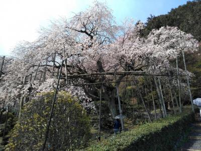 「池田町・神戸町」 霞間ケ渓と輪中堤の桜とお千代保稲荷を散策する旅