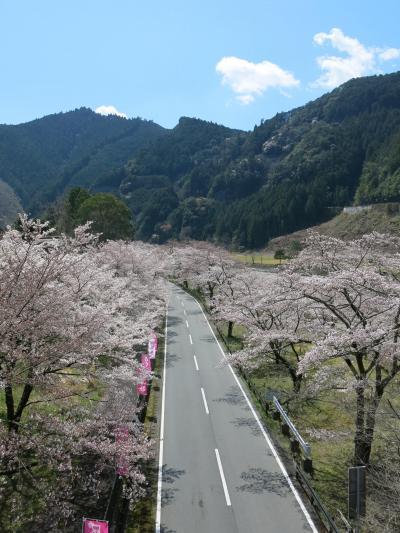 満開の桜をさがして下北山村までドライブ