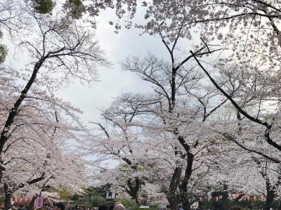 レポート 東京の桜