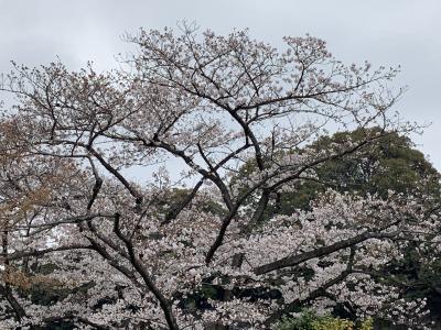 皇居桜の一般公開2019