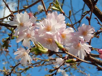 二度開花した十月桜は素晴らしかったです