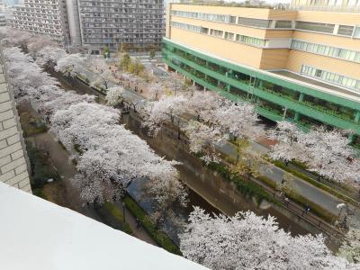 平成最後の石神井川の花見か?(板橋仲宿から加賀、音無経由王子駅間)