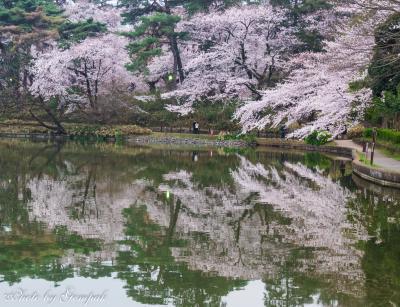 花冷えの大宮公園で、満開の桜の下で酔い覚まし散策