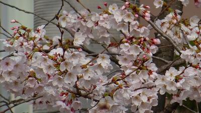 伊丹市 東野地区と大野地区と瑞ヶ池公園の桜の開花状況を確認に行きました その1。