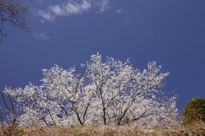 横浜・山手の桜巡り