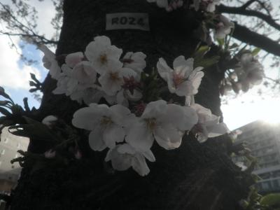 横浜2019花見(3月31日、七分咲きかな?)